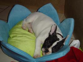 Foto 5 Franz�sische Bulldoggen Welpen