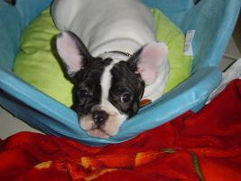 Foto 6 Franz�sische Bulldoggen Welpen