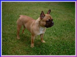 Französische-Bulldoggen Welpen mit Papieren aus Championverpaarung