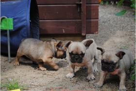 Franz�sische Bulldoggen Welpen abgabebereit