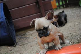 Foto 2 Franz�sische Bulldoggen Welpen abgabebereit