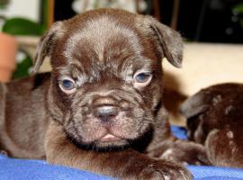 Foto 2 Französische Bulldoggen  Schoko Welpen