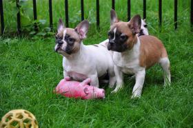 Foto 2 Französische Bulldoggen, Welpen mit Papieren.