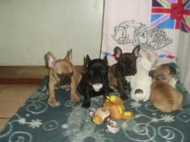 Foto 3 Französische Bulldoggenwelpen