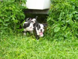 Foto 10 Französische Bulldoggenwelpen