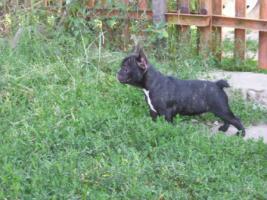 Foto 2 Franz�sische Bulldoggenwelpen