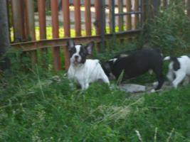 Foto 3 Franz�sische Bulldoggenwelpen