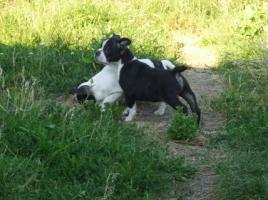 Foto 4 Franz�sische Bulldoggenwelpen