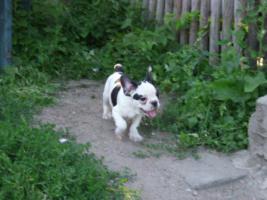 Foto 6 Franz�sische Bulldoggenwelpen