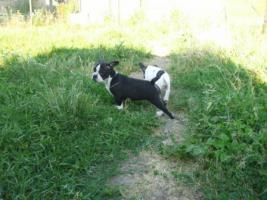Foto 8 Franz�sische Bulldoggenwelpen