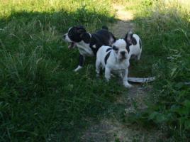 Foto 4 Französische Bulldoggenwelpen