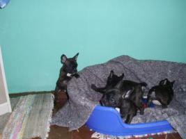 Foto 5 Franz�sische Bulldoggenwelpen