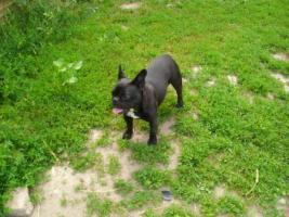 Foto 5 Französische Bulldoggenwelpen