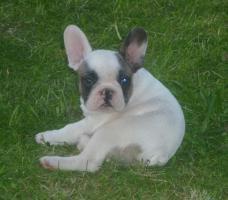 Französische Bulldoggenwelpen in ausgefallenen Farben