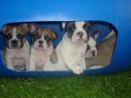 Foto 5 Französische Bulldoggenwelpen in ausgefallenen Farben