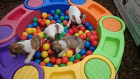 Foto 7 Französische Bulldoggenwelpen in ausgefallenen Farben