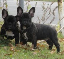 Franz�sische Bulldogwelpen mit Papieren