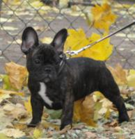 Foto 2 Franz�sische Bulldogwelpen mit Papieren