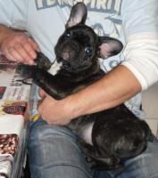 Foto 3 Franz�sische Bulldogwelpen mit Papieren