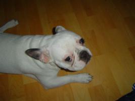 Foto 4 Französische bulldogge DRINGEND