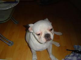 Foto 5 Französische bulldogge DRINGEND