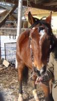 Foto 2 Freieitpferd - Beistellpferd