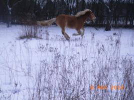 Foto 3 Freizeitpferd - Haflinger zu verkaufen