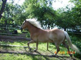 Foto 4 Freizeitpferd - Haflinger zu verkaufen