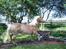 Foto 9 Freizeitpferd - Haflinger zu verkaufen