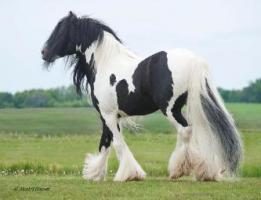 Freizeitpferde-Wunderschöne Tinker COB Wallach