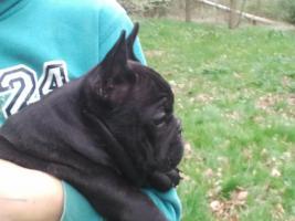 Foto 3 French Bulldog Welpe lackschwarz (beide Eltern schoko), freiatmend