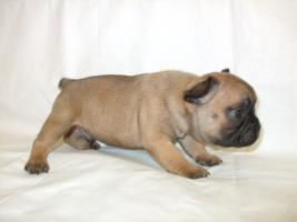 Foto 2 French Bulldog - Welpen zum günstigen Preis mit Transport zu Ihrem Haus