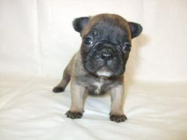 Foto 4 French Bulldog - Welpen zum günstigen Preis mit Transport zu Ihrem Haus