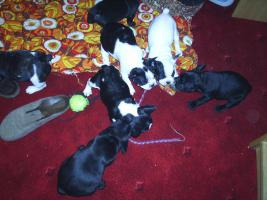 French Bullywelpen, Französische Bulldoggen-Welpen