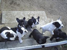 Foto 4 French Bullywelpen, Französische Bulldoggen-Welpen