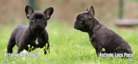Foto 2 French bulldog puppies with pedigree