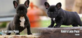 Foto 3 French bulldog puppies with pedigree