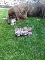 Frettchen Babys
