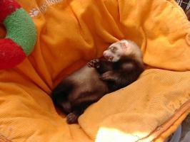 Foto 3 Frettchen Jungtiere