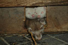 Foto 4 Frettchen, handzahm