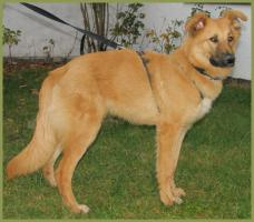 Freundlicher Golden Retriever-Collie-Mix! ``Baileys`` männl., 10 Monate, 57 cm hoch, gechipt.