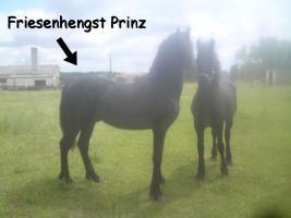 Foto 2 Friesenhengst zu Verkaufen !!!