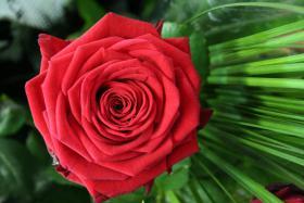 Frische Rosen versand mit Rosenbote.de