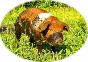 Frisches Biofleisch vom rotbunten Husumer Schwein