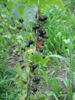 Foto 5 Fruchtaufstrich schwarze Johannisbeer 460g mit 75% Fruchtanteil