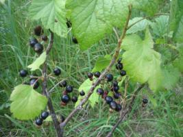 Foto 6 Fruchtaufstrich schwarze Johannisbeer 460g mit 75% Fruchtanteil