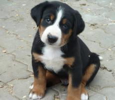Foto 2 Frühjahrswurf  Appenzeller Sennenhund (FCI)