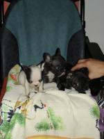 Foto 4 Frz. Bulldoggenwelpen sofort Abgabebereit.