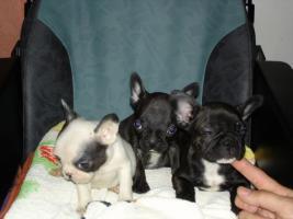 Foto 5 Frz. Bulldoggenwelpen sofort Abgabebereit.