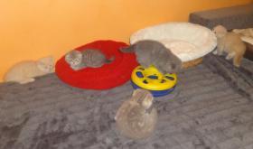Fünf Süße scottish fold Kitten, suchen ab sofort ein liebevolles Zuhause